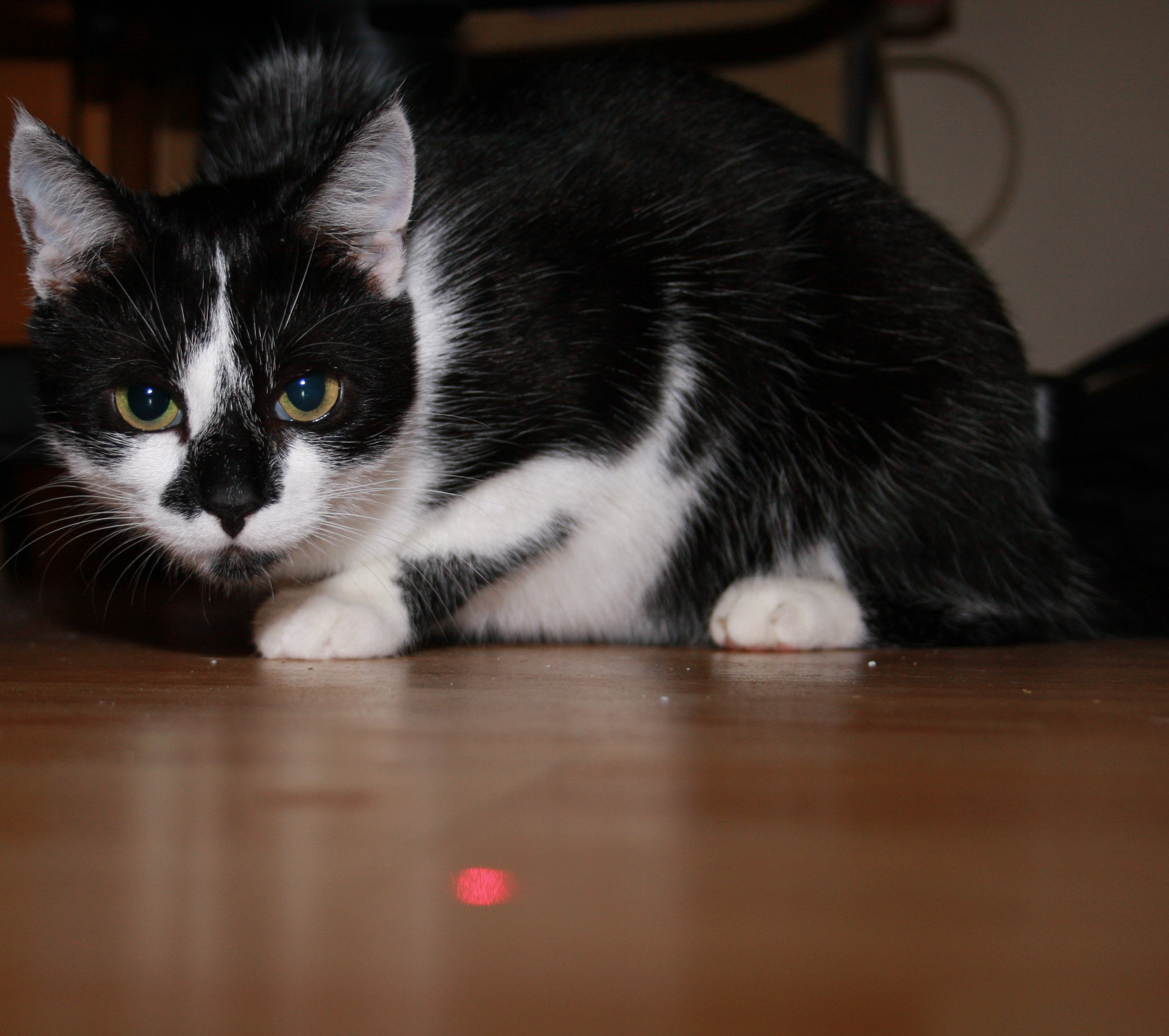 laser pointeur chat